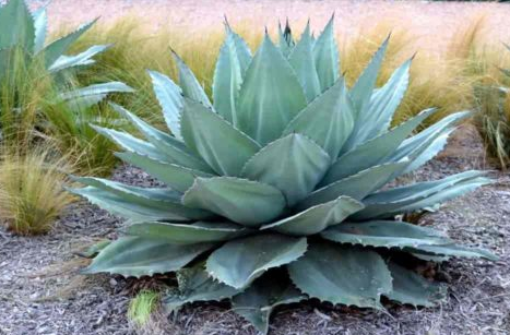 Agave Parryi (Alcachofa Agave)